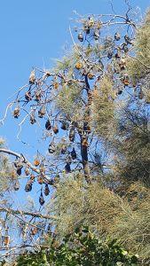 Grey-headed flying-foxes, Parramatta Park. Image: By Optimusprimetransformer CC BY-SA 4.0