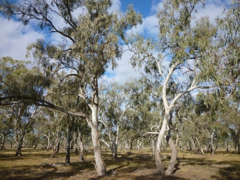 River red gum 2